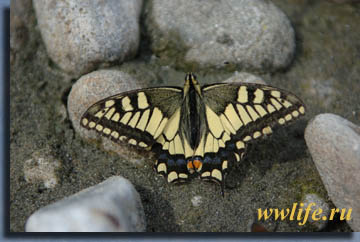 Рис. 1. Махаон, Papilio machaon
