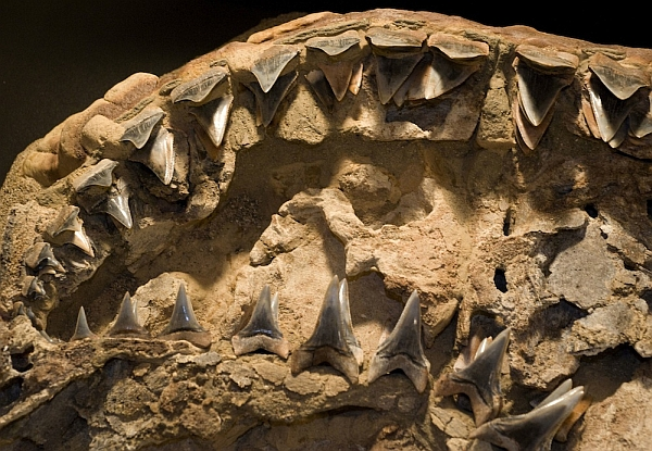 Зубы Carcharodon hubbelli (фото Florida Museum of Natural History / Jeff Gage)