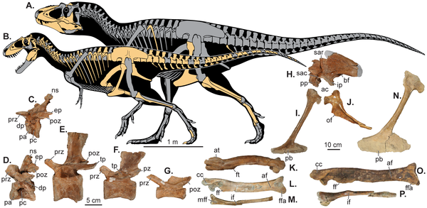 Реконструкция скелетов (A) Lythronax argestes и (B) Teratophoneus curriei.