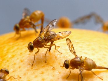 191115fruit flies